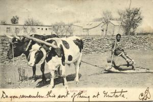 south africa, A Native Sledge, Cow Ox (1905) Sallo Epstein & Co. Postcard