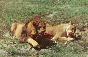 The Female Lion