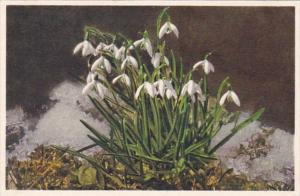 Switzerland Alpine Flowers Snow Drops Schneegloeckchen