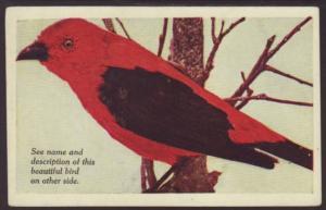 Scarlet Tanager,Bird Postcard