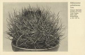 Cactus Cactaceae, Echinocactus Cylindraceus Lem. (1920s) Otto Stoye Postcard