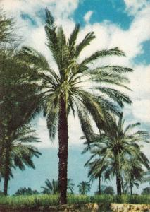 Middle East Djahrom Fars Iran palm trees
