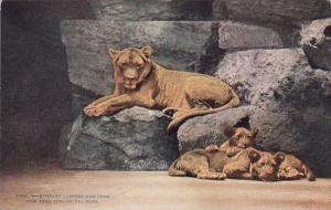 Barbary Lioness And Cubs New York Zoological Park New York City New York