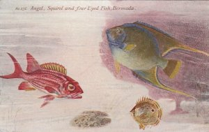 Angel , Squirel & four Eyed Fish , Bermuda, 1900-1910s