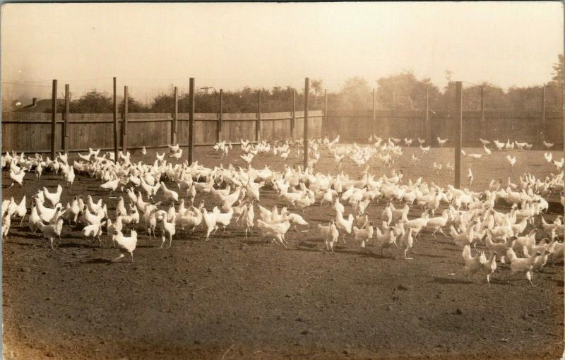 Real Photo Postcard~Hundreds of Farm Chicken Hens in Fenced Barnyard~1930s RPPC