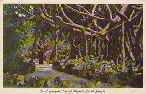 Florida Miami Giant Banyan Treet With A Diameter Of Over One Houndred Feet