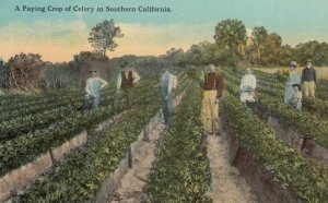 SOUTHERN CALIFORNIA, 1900-10s; A Paying Crop of Celery