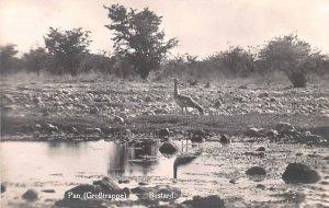 Bustard Africa, Afrika Unused