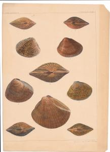 Shellfish Clams US Cmdr Perry Japan Expedition Conchology Plate II Lithograph