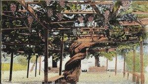 C.1910 Worlds Largest Grape Vine Garpenteria, Santa Barbara, CA Postcard P122