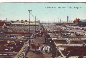 P1277 1909 used postcard cattle busy alley union stock yard chicago ill
