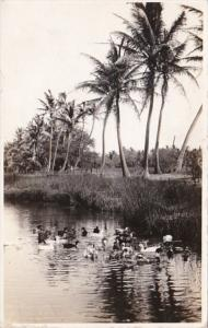 Hawaii Palms Along Creek & Ducks Real Photo