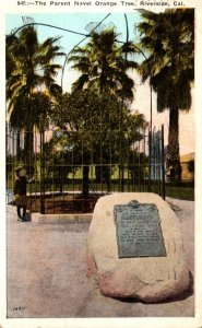 California Riverside The Parent Naval Orange Tree 1938