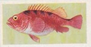 United Tobacco South Africa Vintage Trade Card African Fish 1937 No 12 Jacopever
