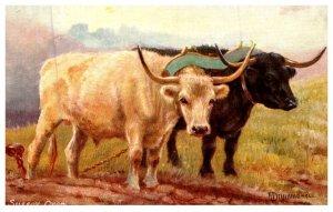 Sussex Oxen