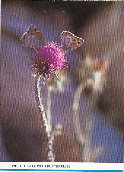 Israel Wild Thistle With Butterflies
