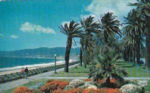 Gorgeous Geranium Bed In Windswept Palisadees Park Santa Monica California