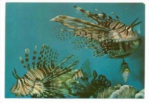 Underwater Scenery,Scorpion fish, Eilat, ISRAEL, 50-70s