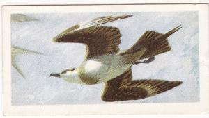 Trade Card Brooke Bond Tea Wild Birds in Britain 46 Arctic Skua