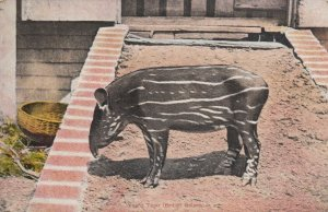 Young Tapir , British Guiana, 00-10s