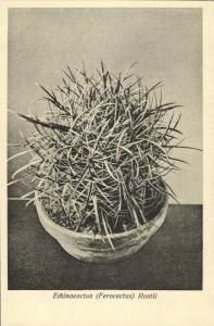 Cactus Cactaceae, Echinocactus Ferocactus Rostii (1920s) Otto Stoye Postcard