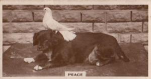 Pigeon Bird on Dogs Head Dog Birds Old Real Photo Cigarette Card