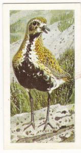 Trade Card Brooke Bond Tea Wild Birds in Britain 27 Golden Plover