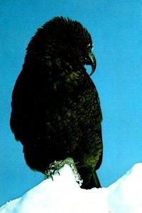 New Zealand Kea Mountain Parrot