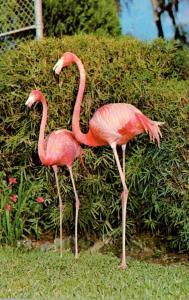 Birds Flamingos At Ross Allen's Reptile Institute Silver Springs Florida