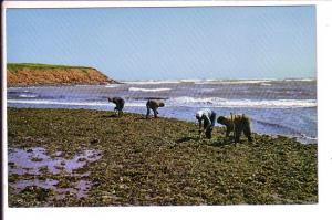 Gathering Irish Moss, North Rustico, Prince Edward Island,