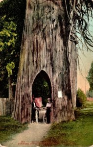 Washington Bicycling Through Giant Tree