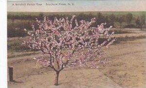 North Carolina Southern Pines A Sandhill Peach Tree Albertype