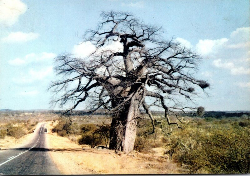 South Africa Transvaal Giant Baobab On The Great North Road