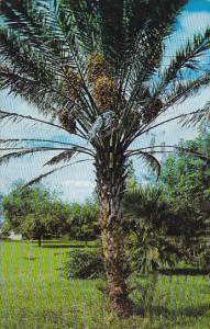 Date Palm With Fruit 1964