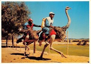 South Africa Cape, Ostrich Racing, Oudtshoorn, Kaap, Volstruis-resies, birds