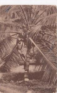 Sri Lanka Ceylon Cocoanut Plucking