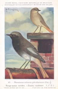 Black Redstart Phoenicurus Ochruros Bird Antique Rare Postcard