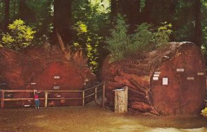 Redwood Fallen Giant , 50-60s ; Richardson Grove State Park