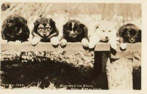 RP: 5 sled puppy dogs , Alaska , 1910-20s ; Thwaites 1294