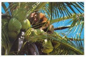 Thailand, 60-70s   Monkey picking cocnuts, Samui Island