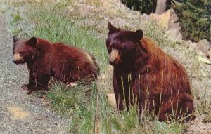 Two American Black Bears