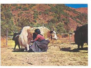 Sherpa Girl & Yak , NEPAL , 70-80s