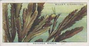 Wills Vintage Cigarette Card The Sea-Shore No 44 Notched Wrack  1938