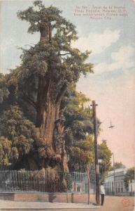 Mexico Mexico City, Arbol de la Noche Triste Popotla, Tree