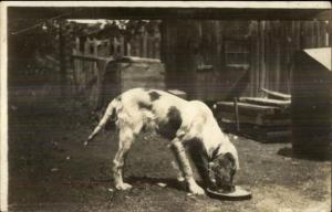 Pointer Dog? Eating in Yard c1910 Real Photo Postcard