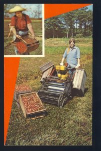 Cape Cod, Massachusetts/MA Postcard, Harvesting Cranberries On The Cape