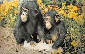 Wild Animals Fauna: Chimpanzee, Young Chimps, by Michael Lyster