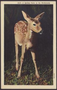 A Spotted Fawn Postcard