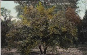 Tangerine Trees In Florida 1910