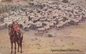 CALIFORNIA, PU-1911; Agoure Sheep in California